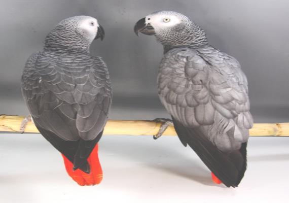 African Grey Parrots for sale   Afro-Birds Farm